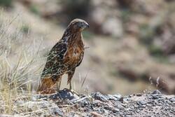 دستگیری ۳ متخلف صید و زنده گیری پرندگان شکاری در هلیلان