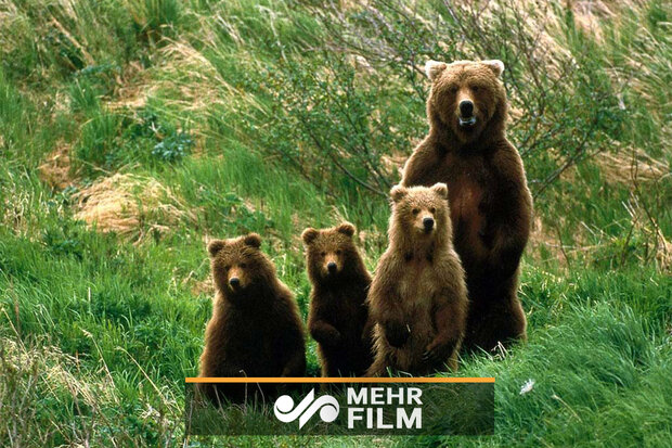 VIDEO: Iranian brown bears