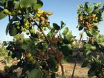 توسعه کاشت درختان پسته در لرستان/ برداشت ۱۴ هزار تن گیاهان دارویی