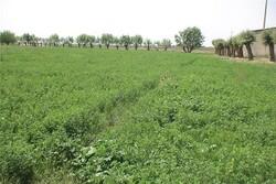 سالیانه ۳۵ هزار تن علوفه یونجه در خاش تولید میشود