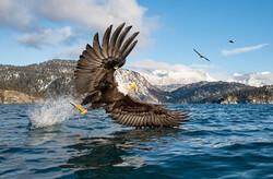 لحظه شکار ماهی توسط عقاب سرسفید