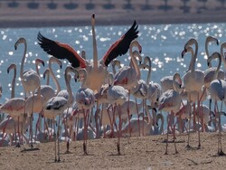 Koronavirüs yasağıyla boş kalan sokakları flamingolar bastı