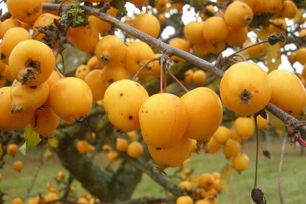 آغاز برداشت انبه محلی در گیلان/ ۶۴۸ تن انبه برداشت می شود