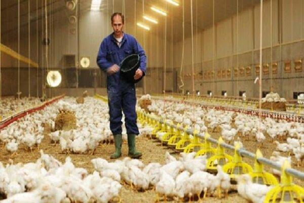 ۴۳۰۰تن ذرت و سویا برای مرغداری های استان خریداری و توزیع شده است