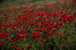Tulip plain in western Iran