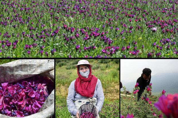 گیاهان دارویی اقتصاد را درمان میکند/ غفلت از ظرفیت صنایع تبدیلی