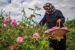 پیش بینی برداشت ۳۶۵ تن گل محمدی از باغات خراسان جنوبی