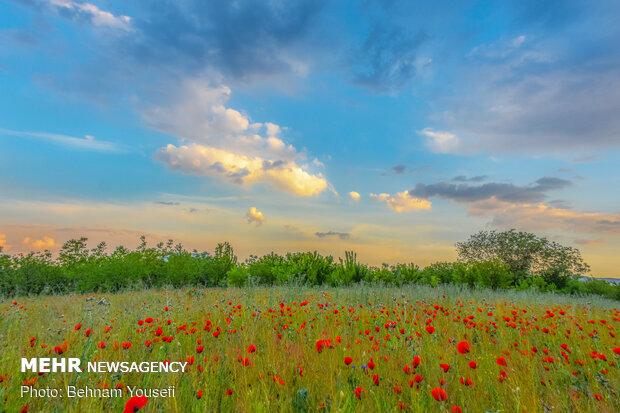Wild tulips in Arak