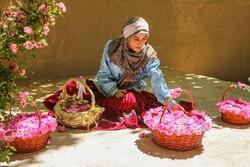قطف الزهور الشامية من مزارع شمال شرق ايران / صور