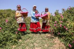 Harvesting damask rose in N. Khorasan province