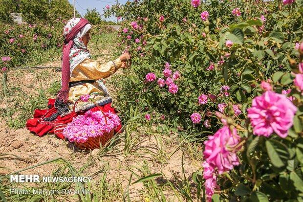 برداشت گل محمدی در بجنورد