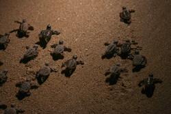 آغاز سفر بچه لاکپشتهای پوزه عقابی از قشم