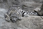 VIDEO: Persian leopard family spotted in Savadkuh