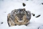 نمر الثلوج /بالصور