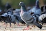 Hindistan'da Pakistan adına casusluk yapan güvercin yakalandı!