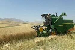 ۸۰ تن دانه روغنی کلزا در شهرستان کیار تولید شد