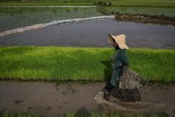 شتلات الأرز في حقول كيلان