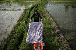Rice seedlings, Iranian taste in Golestan