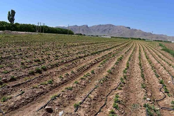 آغاز کاشت سیب زمینی به روش آبیاری تیپ در دهاقان