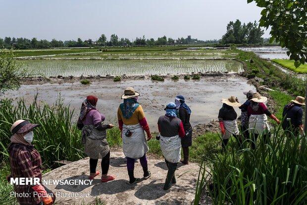 Gilan eyaletinde çeltik ekimi