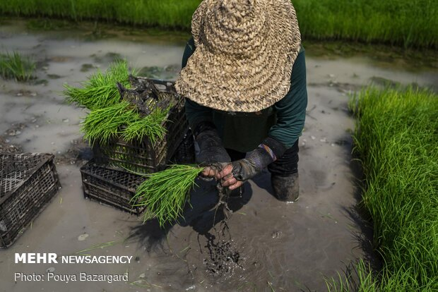 Planting rice seedlings in paddy fields in Gilan prov.