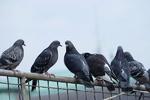 Hindistan'da casusluk suçlamasıyla yakalanan güvercin serbest bırakıldı!