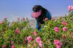 برداشت گل محمدی از گلستان های چهارمحال و بختیاری