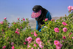 Harvesting damask rose in Iran's Chaharmahal and Bakhtiari Province