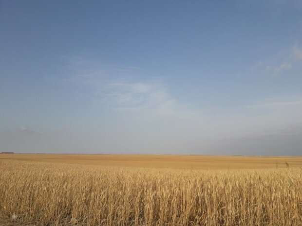 VIDEO: Wheat harvest in north Iran