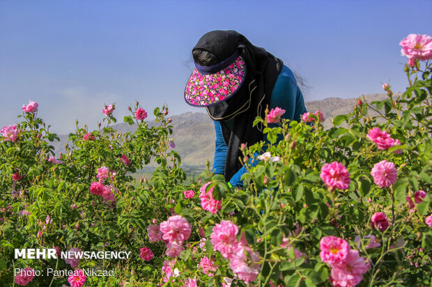 Mehr News Agency - Harvesting damask rose in Iran's Chaharmahal and Bakhtiari Province