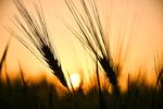برنامه ریزی برای خرید ۱۰ میلیون تن گندم در سال آینده / توزیع سالیانه ۱۰.۵ میلیون تن آرد در کشور