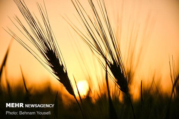 برنامه ریزی برای خرید ۱۰ میلیون تن گندم در سال آینده