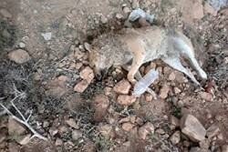 واکنش شهرداری گوراب زرمیخ به انتشار تصاویر سگ کشی