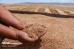 تحویل ۱۷ هزار تن گندم به مراکز خرید بهار