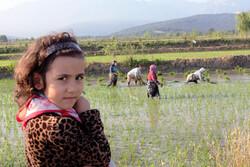 Gulistan eyaletinde çeltik ekimi başladı