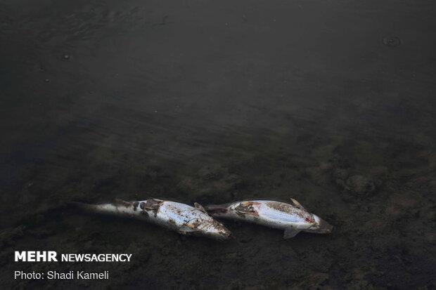 مرگ ماهیان قره سو