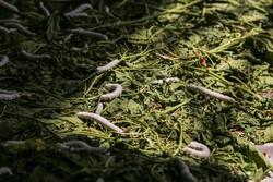 بجنورد میں ریشمی کیڑے کی پرورش اور پیداوار