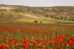 Poppy fields in North Khorasan province