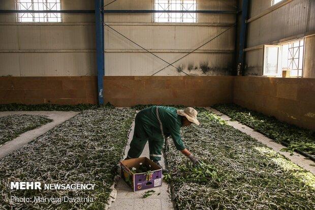 تولید و پرورش کرم ابریشم در بجنورد