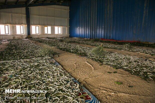 Silkworm farm in NE Iran