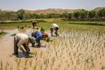 کاشت برنج در مزارع خراسان شمالی
