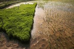 «تولک زنون» رسمی رایج بین برنج کاران باغملک