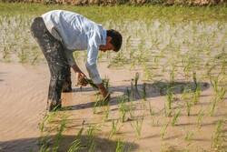 شمالی خراسان کے کھیتوں ميں دھان کی کاشت
