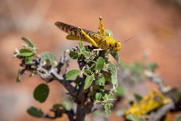 Desert locust to fuel hunger in Asia, Pacific: FAO