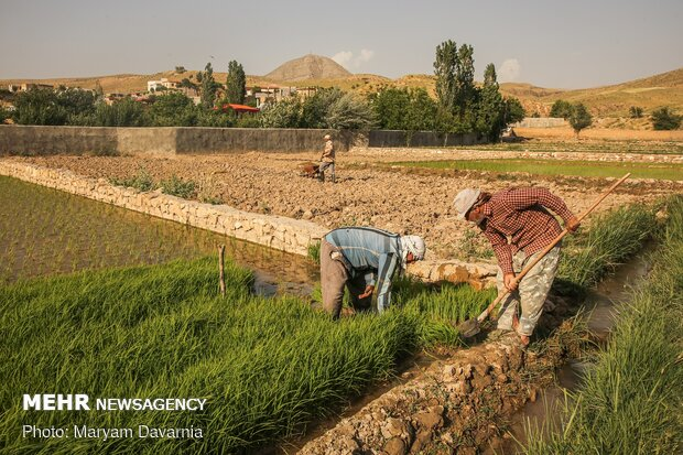 Rice farms of North Khorasan province