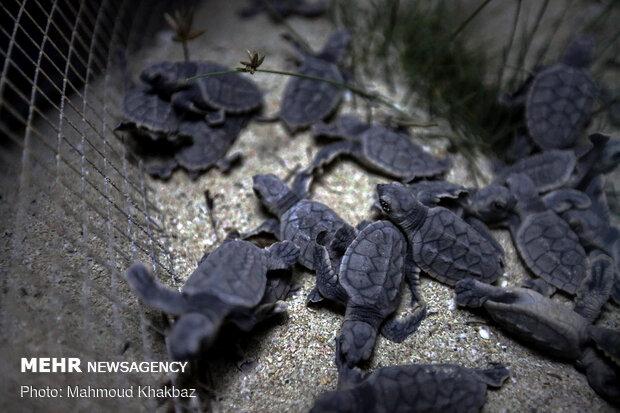 Birth of Hawksbill sea turtles in Kish