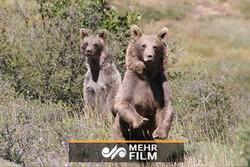 فیلمی کوتاه از دو خرس بالغ در مازندران