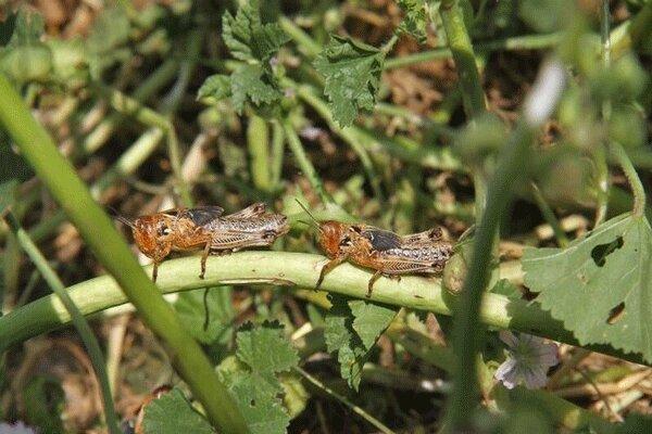 VIDEO: Locust attack on pistachio gardens on Kerman