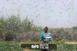 موج جدید حمله ملخ ها به مزارع هند