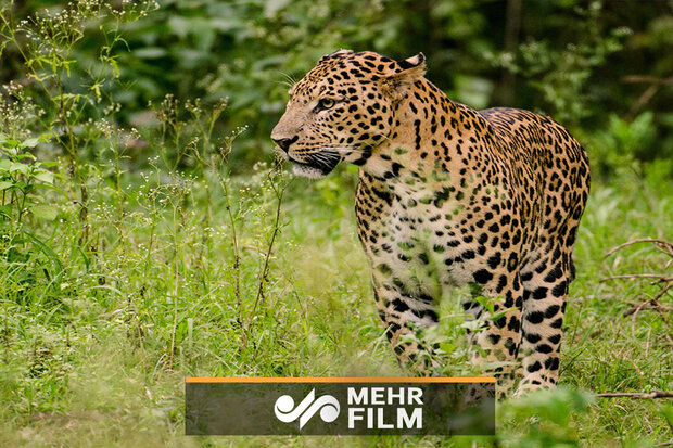 VIDEO: Persian leopard captured on camera in NW Iran